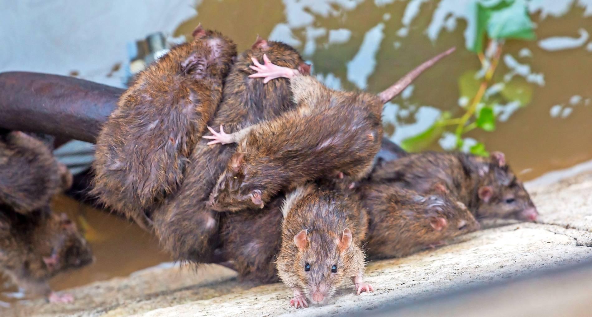 Springen Ratten Menschen An