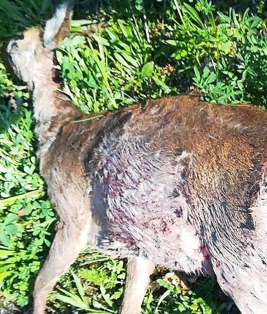 Hunde töten Wildtiere: Freilaufende Hunde töten Rehe in Ensdorf